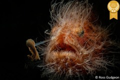 9-Ross-Gudgeon_Pixels_-Hairy-Frogfish-G