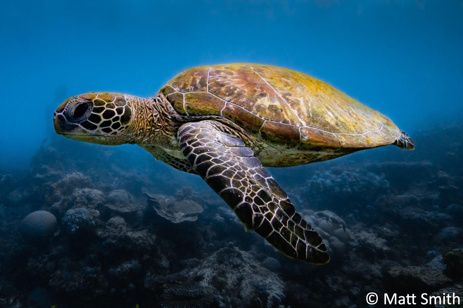 2-Matt-Smith_Pixels_Ningaloo-Turtle