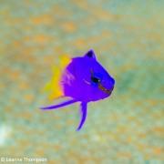 Image-14-LeanneThompson_PixelsFish_blue-fairy
