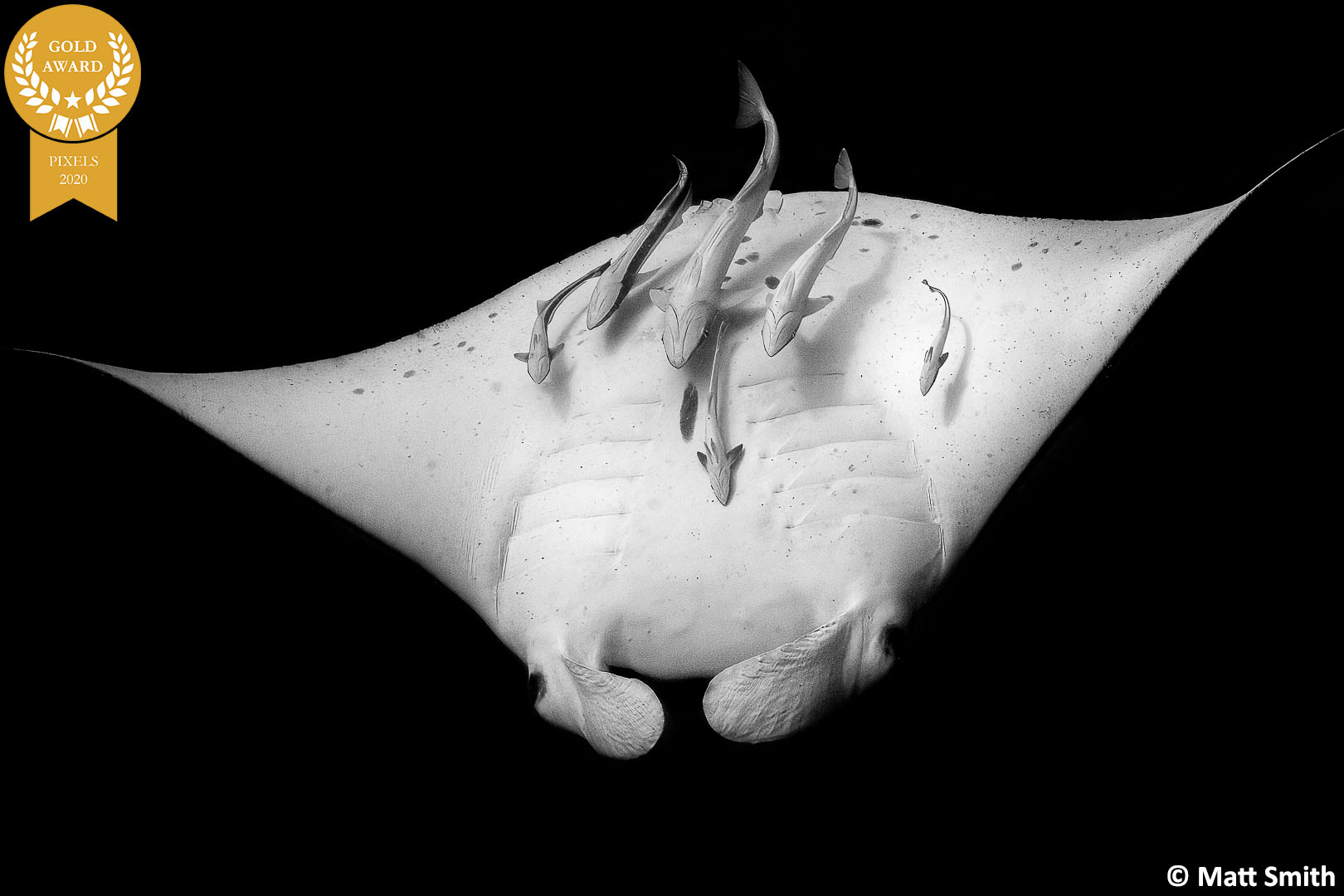 11-Matt-Smith_PIXELS-May-2020_Manta-Ray-with-Remoras