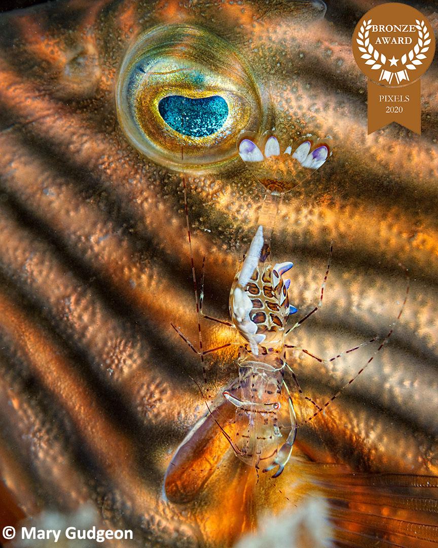 2-Mary-Gudgeon_Pixels_Cleaner-Shrimp