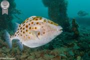 5-Mary-Gudgeon_PIxels_-Boxfish