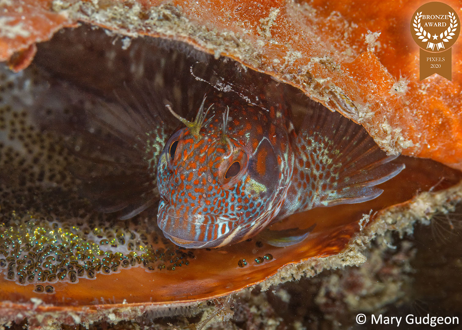 12-Mary-Gudgeon_PIxels_-Blenny-and-Eggs-B