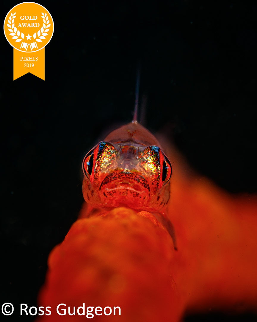 4-Ross_Gudgeon_Pixels_WhipCoralGoby